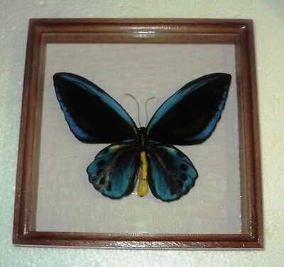 Ornithoptera Priamus urvilleanus....Butterfly in a frame expensive wood....RARE!
