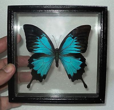 Papilio ulysses....Exclusive frame from expensive breed Siberian wood! 3D EFFECT