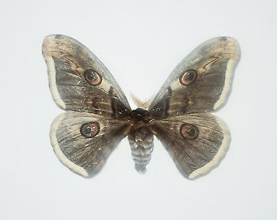 Saturnia pyri (Denis & Schiffermüller, 1775)....A good example of this kind....