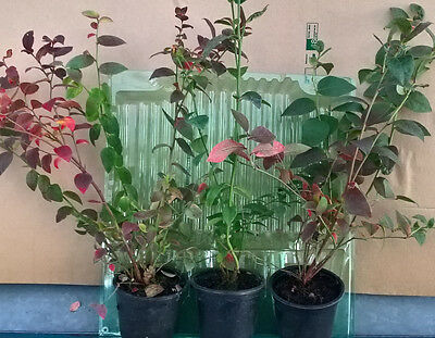 3 Blueberry plants collection in 9cm pots at choice of varieties