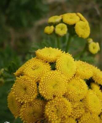 ♫ TANAISIE Officinale -Tanacetum ♫ + Graines + ♫ COLLECTION Aromatique Mellifère