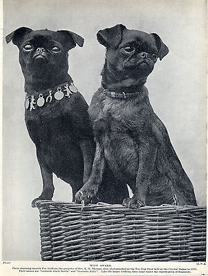 Brussels Griffon Named Dogs Lovely Old Original Dog Print Page From 1934