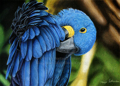 """Hyacinth Macaw"" - 29.7 x 21 cm (A4) original drawing in coloured pencils"