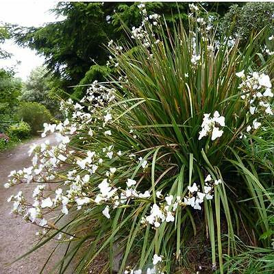 Libertia Chilensis (Grandiflora) New Zealand Iris - 100 Seeds - Perennial Flower