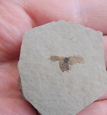 Fossil fly, Cereste, France - Oligocene