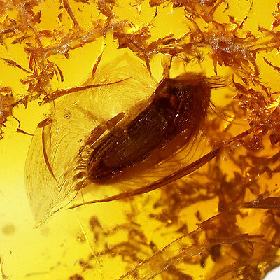 Fossil Insect inside Baltic Amber Inclusion BEETLE