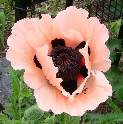 Papaver Orientale 'Coral Reef' Oriental Poppy - 100 Seeds - Hardy Perennial