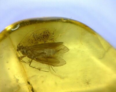 Scarce Baltic Amber Fossil Piece With Caddisfly Insect Inclusion 0.16g
