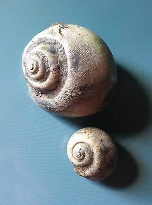 2 Fossil Snail SeaShell Gastropod Specimens - Ampullinopsis - fossil collections