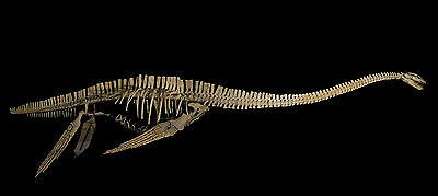 zarafasaurus oceanis (squelette) moulage cast dinosaure fossil fossile fossilien