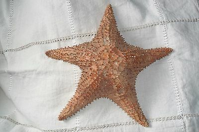 VERY LARGE STARFISH SEA SHELL 32 cm (from The BAHAMAS?)