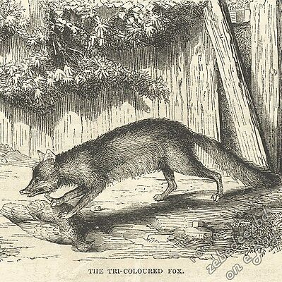 Tri-Coloured Fox: antique 1866 engraving print animal art nature picture drawing