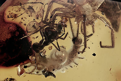 STONE CENTIPEDE Lithobiidae + Beetles + Ant & Spiders BALTIC AMBER + HQ Picture