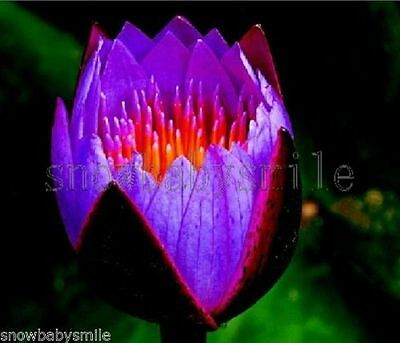 10 Purple Fire Bonsai Lotus Seeds Bowl Nelumbo Nucifera Pond Aquarium Flower