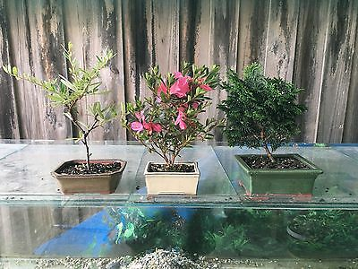 9 X Various Bonsai Trees