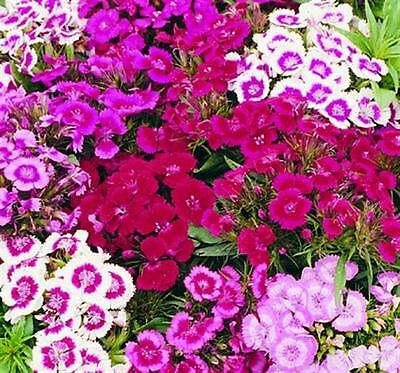 Sweet William Indian Carpet Mixed - 750 Seeds - Hardy Perennial