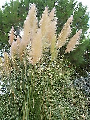 Cortaderia Selloana Gynerium White Feathers Pampas Grass - 150 Seeds - Perennial