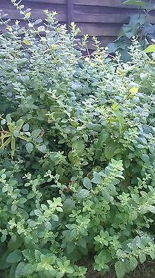 Garden Mint- big seedling / Perennial herb/resistant to frost