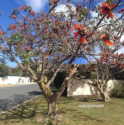 Erythrina caffra 5African coral tree serds  red flowers Albero Corallo semi