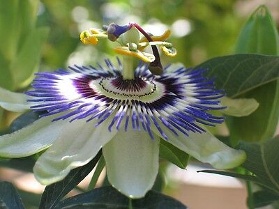 Passiflora Coerulea (Blue Passion Flower) 25 Seeds HH Climber