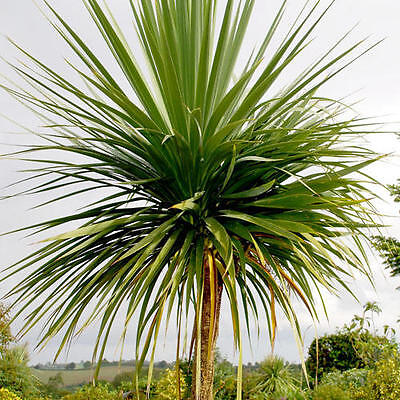 Cordyline Australis (Cabbage Tree/ Palm)  - 25 Seeds -  Hardy Perennial