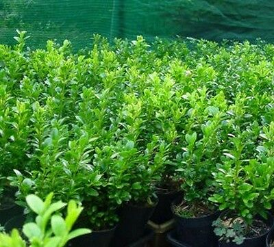 ENGLISH BOX in 3 INCH POTS 10 PLANTS FOR $20.00  Garden Hedge Border
