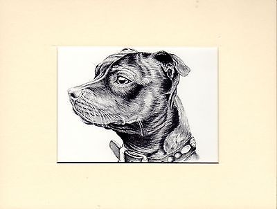 "MOUNTED   8"" x  6""  PENCIL DRAWING PRINT of A STAFFORDSHIRE BULL TERRI ER"