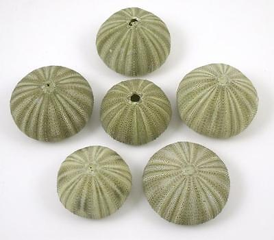Tropical Natural Dried Green Sea Urchins Set of 6