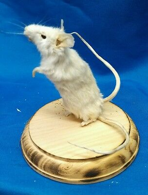 Freak Mouse Display,sideshow Gaff Prop,oddity,taxidermy,obscure,ooak,curio,