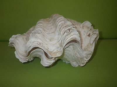 "2 - 11"" Matching pair Giant clam light ruffles specimen - Seashell Nautical Bowl"