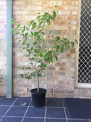 Black Mulberry Tree 1.3 m tall in a pot