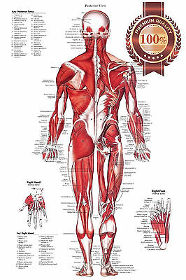 New Posterior Muscular System Chart Anatomical Diagram Art Print Premium Poster