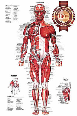 New Anterior Muscular System Chart Anatomical Diagram Art Print Premium Poster