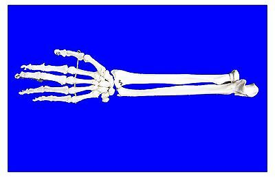 @Professional Full Size Human Hand and Forehand Skeleton Model@@UK Seller@