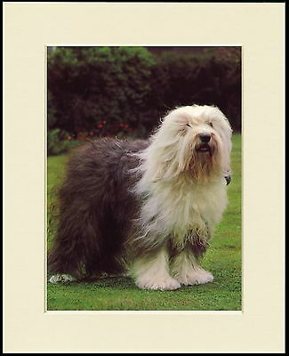 Old English Sheepdog Seated Lovely Dog Print Mounted Ready To Frame