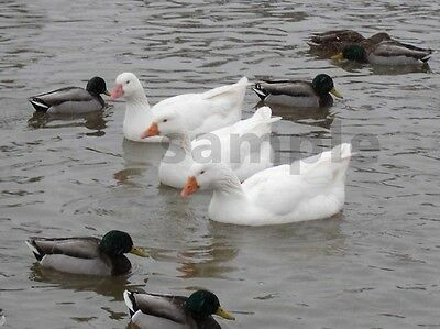 1 White Geese Goose Ducks Digital Photo Picture Image for Project Design