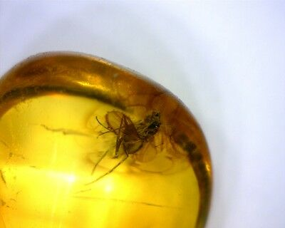Baltic Amber With Fossil Fly Insect Inside Special Offer #419