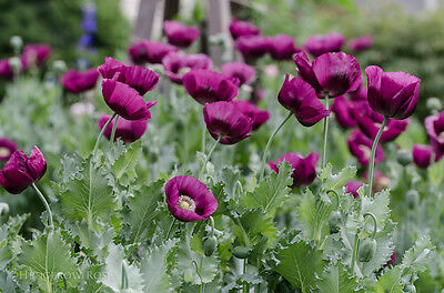 Papaver Somniferum 'Lauren's Grape' Poppy 1000 Seeds