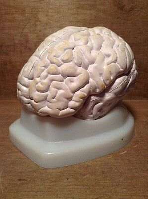 Vintage Human Brain Surgical Model - Funky Decor