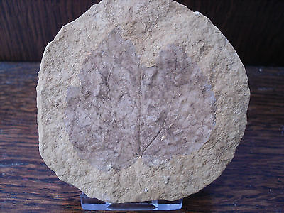 Fossil Leaf - Circa 20 million years old