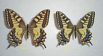 PAPILIO MACHAON SPHYRUS  *male* SICILY,Italy