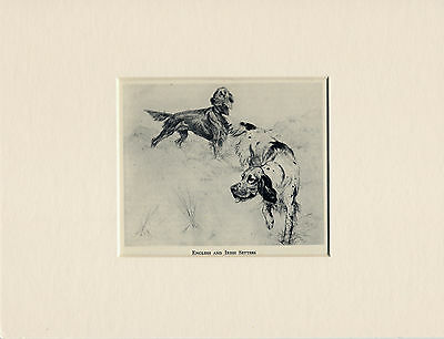 English And Irish Setter Dogs At Work Old 1940's Print Mounted Ready To Frame