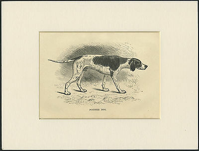 Pointer Old Antique Dog Engraving / Print Mounted Ready To Frame