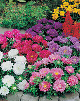 Aster Colour Carpet Mix 300 Seeds HH Annual