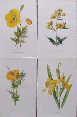 Four Antique Botanical Flower Print 1890s by Hulme - Yellow - A19
