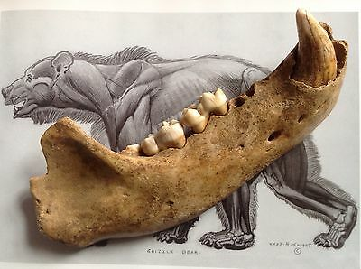 Fossil Cave Bear Jaw