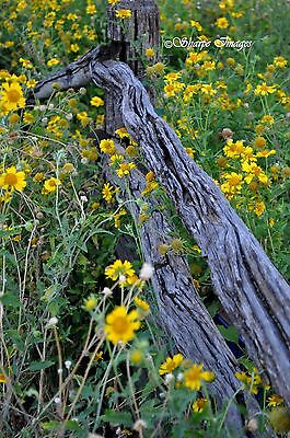 """Australian Country Rustic Fence Charm Photograph with Yellow Flowers, 8x12"""""""