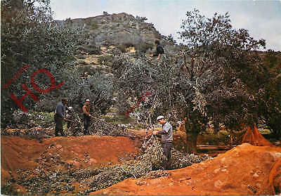 Postcard: Greece, Gathering Olives In The Countryside