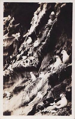 RP NOSS  CLIFFS SEA BIRDS NESTING  SHETLAND SCOTTISH ISLES  REAL PHOTO c1934