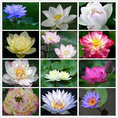 10x Water Lily Lotus Seeds Nelumbo Nymphaea Bowl Pond Flower Plant Home Garden